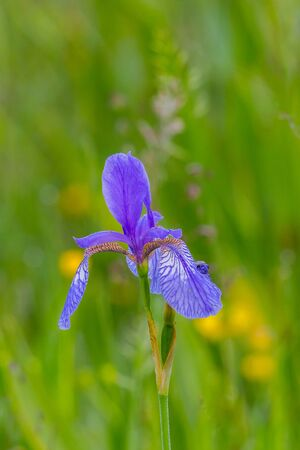 natural flower head of Siberian iris (Iris sibirica) in bloom in green meadow