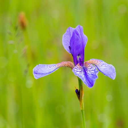 blooming natural flower head of Siberian iris (Iris sibirica) in green grass Stock fotó