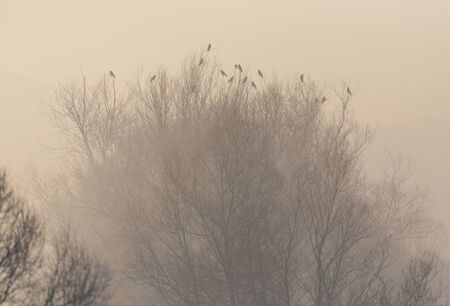 group of natural black ravens sitting on treetop on misty morning Stock fotó