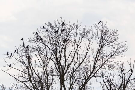 natural black raven group sitting on treetop, cloudy white sky