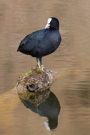 natural black coot (fulica atra) standing on branch, mirrored in water Stock fotó