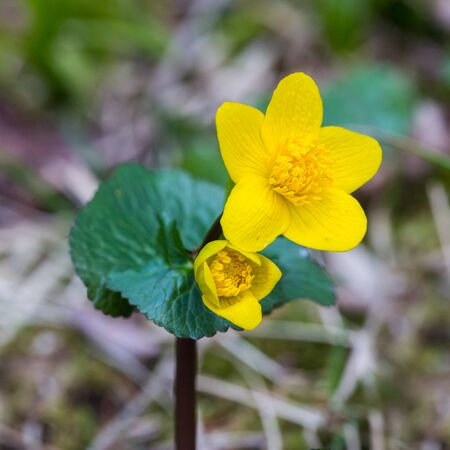 close-up natural yellow kingcup flower (caltha palustris) in bloom