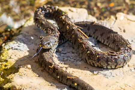 natural lambent grass snake (natrix natrix)  lying in stone in sunshine