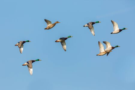 group of flying isolated mallard ducks (anas platyrhynchos) in blue sky Stock fotó