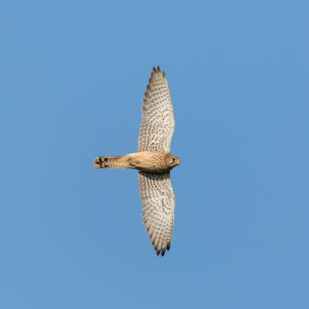 close-up isolated kestrel (falco tinnunculus) in flight in blue sky Stock fotó