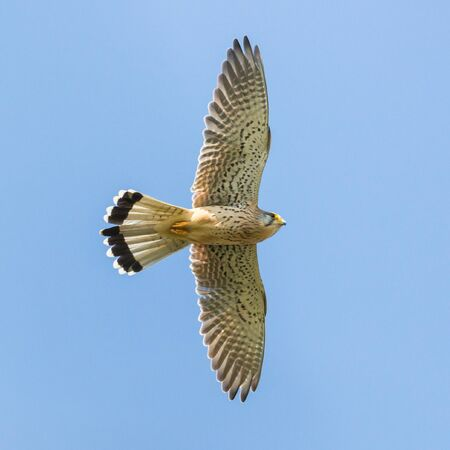 natural male common kestrel (falco tinnunculus) in flight blue sky spread wings