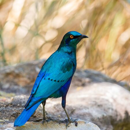 close-up natural glossy cape starling (lamprotornis nitens)