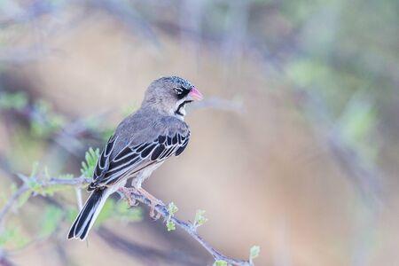 scaly weaver bird (sporopipes squamifrons) sitting on tree branch Фото со стока