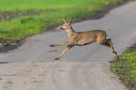 one natural capreolus roe deer jumping over street in sunlight