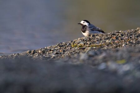 one white wagtail (motacilla alba) standing in sunlight at pebble beach