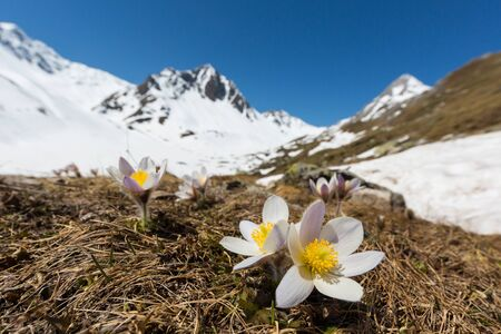 white alpine anemone flowers (pulsatilla alpina) in bloom with snowcapped mountains