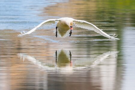 close-up mirrored mute swan (cygnus olor) taking-off from water surface