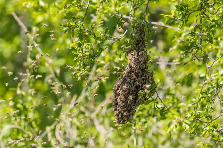 honey bee colony hanging on branch in green tree