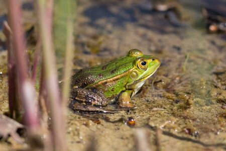 side view green frog (rana esculenta) sitting within reed stalks in muddy water Imagens