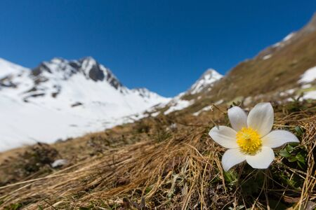 white alpine anemone (pulsatilla alpina) in bloom with snowcapped mountains and blue sky