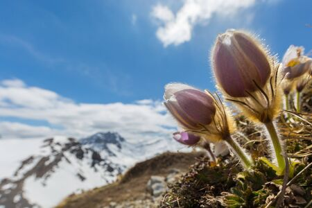 close view alpine anemone (pulsatilla alpina) with snowcapped mountains and blue sky