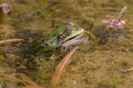 side view green frog (rana esculenta) with head out of muddy water Imagens