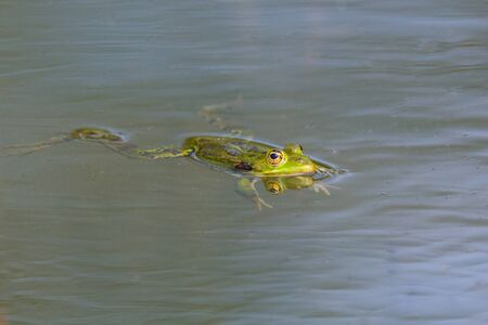 small mirorred green frog (rana esculenta) swimming on water surface