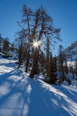 sun shining through spruce tree in winter landscape with blue sky in Swiss alps