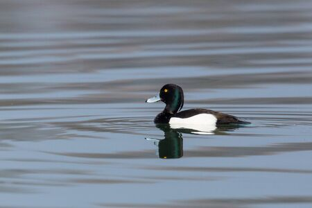 close-up one isolated male tufted duck (aythya fuligula) swimming in water