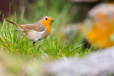 close-up european robin (Erithacus rubecula) standing on grass ground