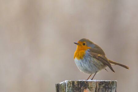 one european robin (erithacus rubecula) standing on wood post Imagens