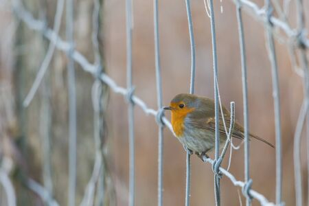 one european robin (erithacus rubecula) standing on fence in frosty winter Imagens