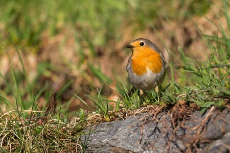 portrait one european robin (erithacus rubecula) standing in green meadow