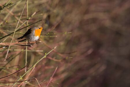 one european robin (erithacus rubecula) standing on tiny branch in sunlight