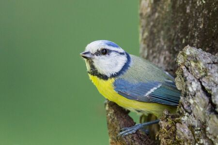 close-up one blue tit bird (parus caeruleus) looking out of tree hole