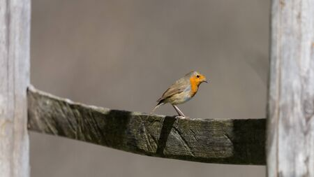 european robin (erithacus rubecula) standing on wooden fence in sunlight
