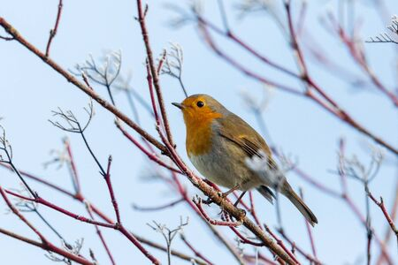 one european robin (erithacus rubecula) standing on tree branches in winter