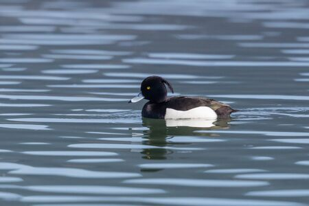 one male tufted duck portrait (aythya fuligula) swimming in water