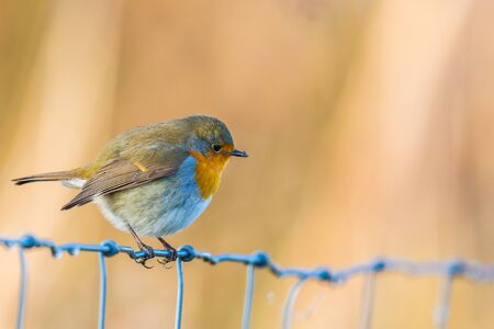 one european robin (erithacus rubecula) standing on metallic fence in sunlight Imagens