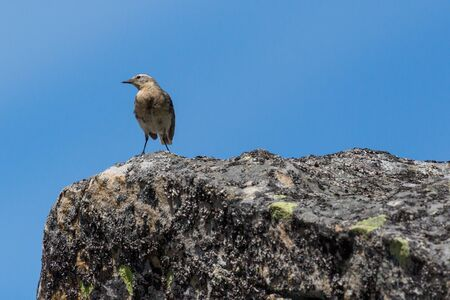 one water pipit (anthus spinoletta) standing on rock in blue sky