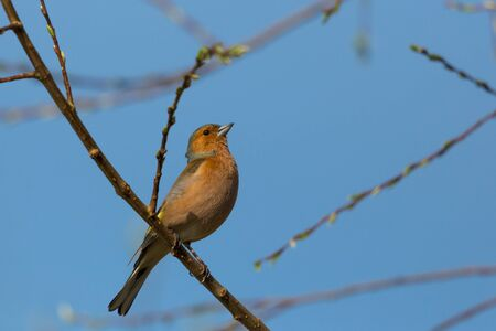 one chaffinch bird (fringilla coelebs) sitting in tree branches, blue sky