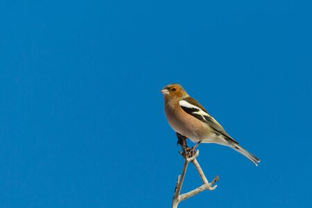 isolated chaffinch bird (fringilla coelebs) sitting on tree branch in blue sky