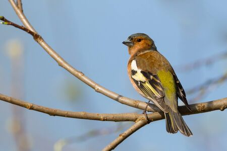 one chaffinch (fringilla coelebs) sitting in tree branches in sunlight with blue sky