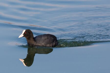 close-up black coot (fulica atra) swimming and symmetrically mirrored in blue water Imagens