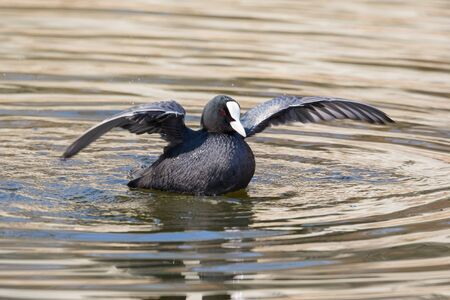 close-up black coot (fulica atra) shaking wings in golden water