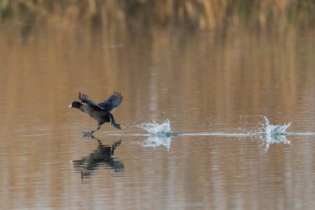 one mirrored black coot (fulica atra) running over water surface