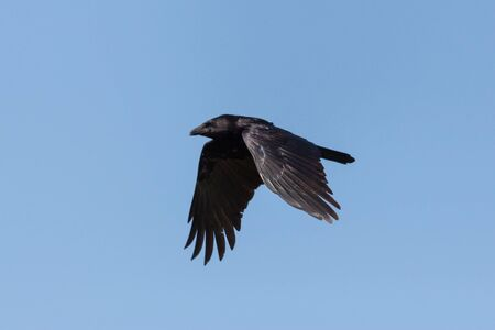 isolated black crow (corvus corone) with spread wings flying in blue sky