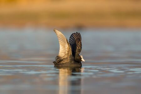 one black coot (fulica atra) swimming on water surface in morning light