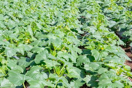 calabacin: plantas de calabacín