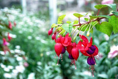 flores fucsia: Hermosas flores de color fucsia en el parque