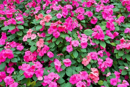 lizzie: Colorful pink impatiens flowers background Stock Photo