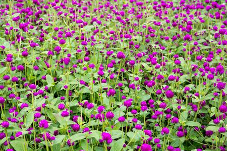 globosa: Globe amaranth or Gomphrena globosa flower in the park,Amaranth flowers background