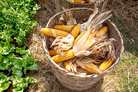 cultivated land: Harvested dry corn in a rattan basket in cultivated land background