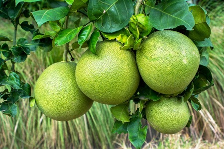 pomelo: Pomelo fruit hanging on tree in the garden. Pomelo fruit plant