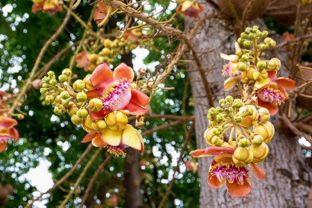 cannonball: Cannonball flower of Cannonball Tree or Sal Tree in the park